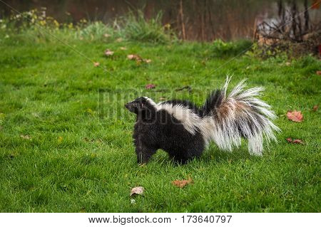 Striped Skunk (Mephitis mephitis) Stands in Grass Facing Left - captive animal