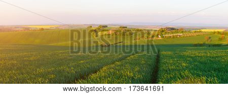 Green Wheat Field In Evening Sunlight