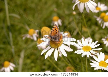 Small Copper butterfly, Lycaena, phlaeas, nectaring on Scentless Mayweed flower