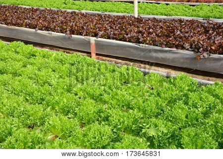 hydroponic plants in vegetable garden farm greenhouse of hydroponic. Green oak and red oak lettuces leafs in organic farm plants growing in the water without soil.