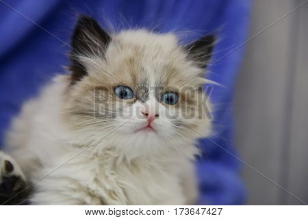 Close up view of cute little kitten at home