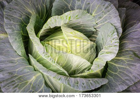 Fresh cabbage organic vegetables in the farm.