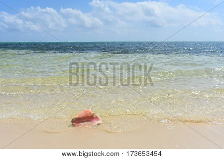 conch shell in the waves on Caribbean beach