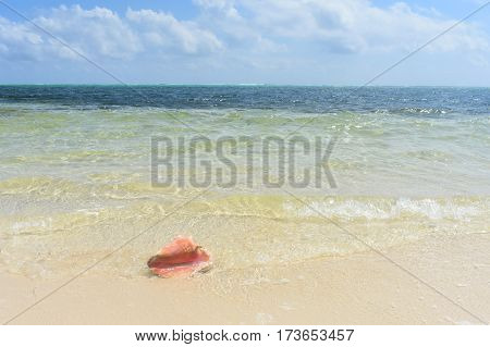 conch shell in the surf on the Caribbean sand
