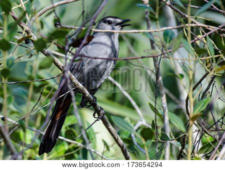 A singing mockingbird in a bush with open beak