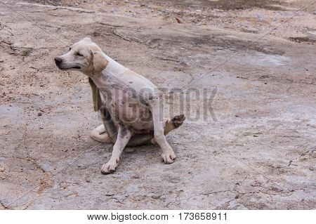 thai white stray dog , pet animal