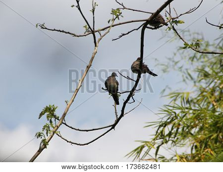 wild birds of pigeon family hanging on a dangling tree branch