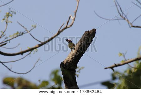 red head woodpecker on a dead tree branch