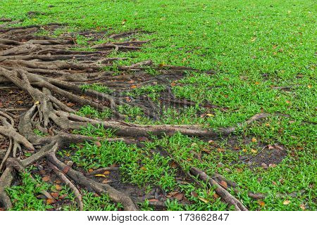 Roots of a tree and green grass background