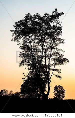 Bare tree black silhouette in foggy sunset sunrise