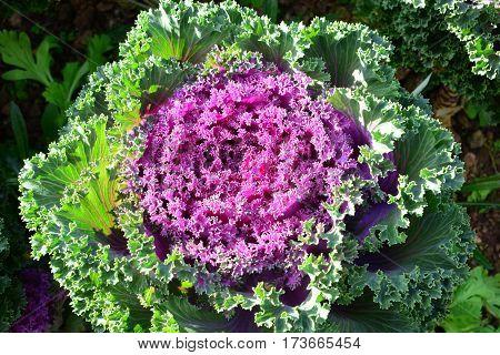Cabbage Ornamental, Green and Purple Color Ornamental Cabbage, Ornamental Kale