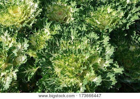 Cabbage Ornamentalm, Green  Color Ornamental Cabbage, Ornamental Kale