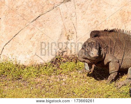 Anegada Ground Iguana Known As Cyclura Pinguis