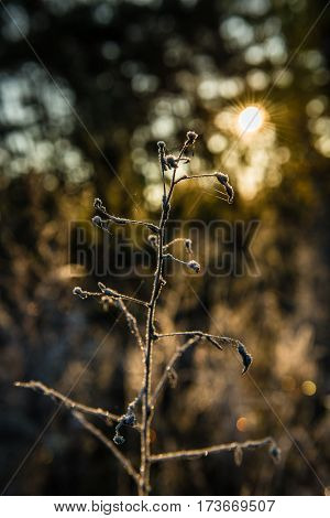 Wild plant covered with hoarfrost in the light of the sun's rays.Backlight. Small depth of field