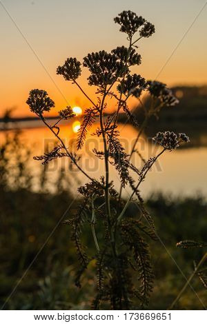 Sagebrush at sunset against a background of lake selective focus. Backlighting by the sun behind. Artemisia absinthium.