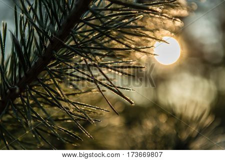 Hoarfrost on a branch of a pine closeup. Backlighting by the sun behind. Small depth of field