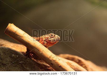 Chinese Crocodile Lizard Known As Shinisaurus Crocodilurus