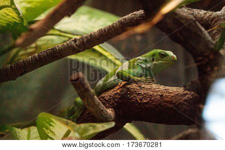 Figian banded iguana scientifically known as Brachylophus bulabula on a branch