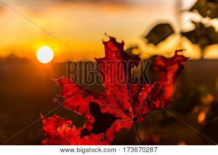 Red autumn maple leaves at sunset. Backlight. Selective focus