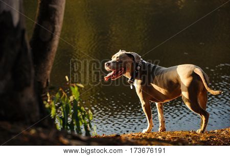 American Pit Bull Terrier dog outdoors by pond shore
