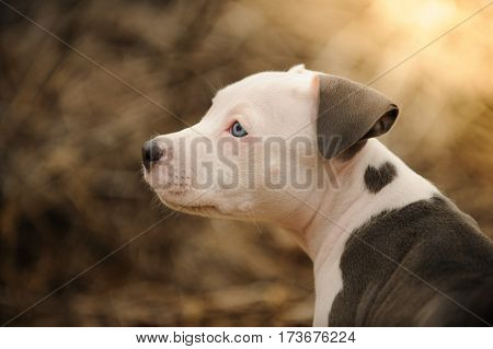 American Pit Bull Terrier puppy dog with heart shaped mark on shoulder