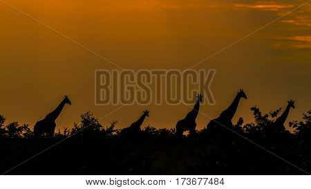 sunset and herd of giraffes in backlight in Kruger park, South African