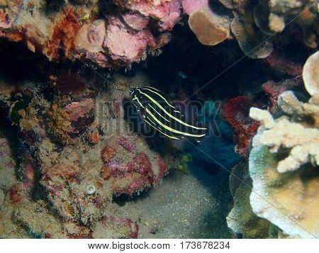 The surprising underwater world of the Bali basin, Island Bali, Lovina reef, coral fish