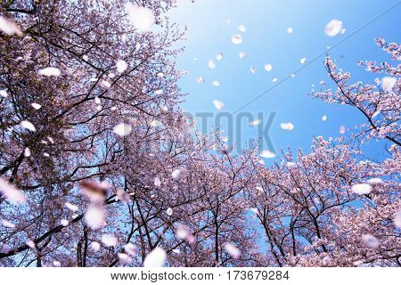 Magnificent  scene of cherry blossoms flower petals floating and blown in a spring breeze. Focus is the background trees.