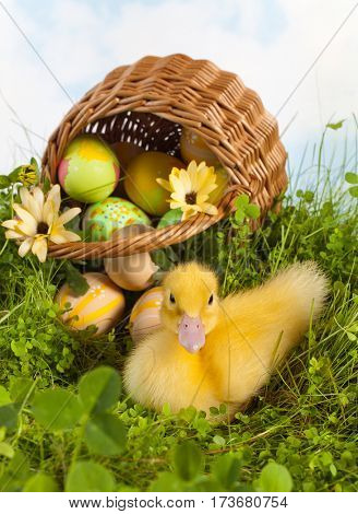 Fluffy easter duckling in grass with a basket full of easter eggs
