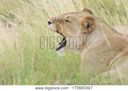 A lioness giving out a big roar