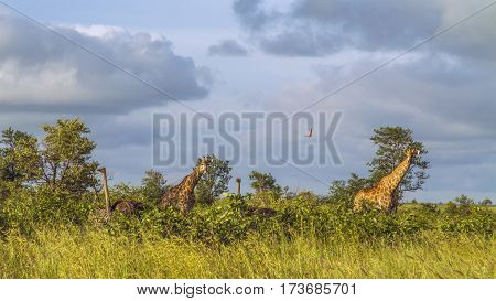 giraffes in a green savannah in Kruger national Park, South Africa