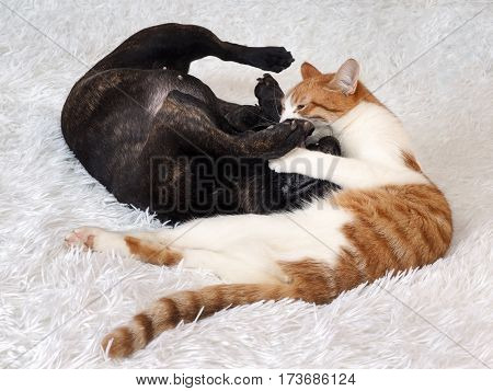 Fight cat dog. White cat red. Dog black