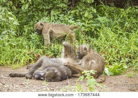 group of chacma baboons playing in the bush in Kruger Park
