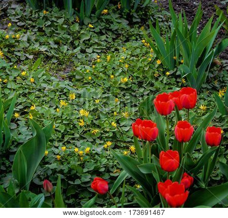 Blooming lesser celandine (Ficaria verna), surrounded by red tulips. Yellow ranunculus ficaria flowering in spring background.