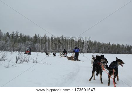 ROVANIEMI, FINLAND - FEBRUARY 19, 2017: Running husky dog sledge in Finnish Lapland capital Rovaniemi. It is the capital of Lapland, in northern Finland and the