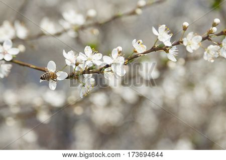 A bee on a wild cherry flowers sunlit springtime