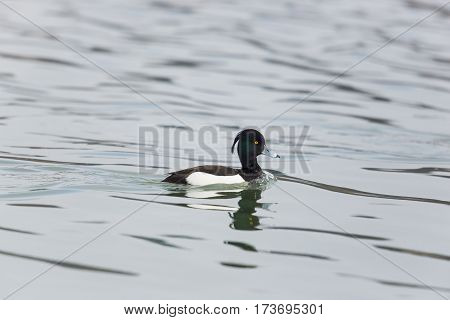 portrait of one natural male tufted duck (Aythya fuligula) while swimming