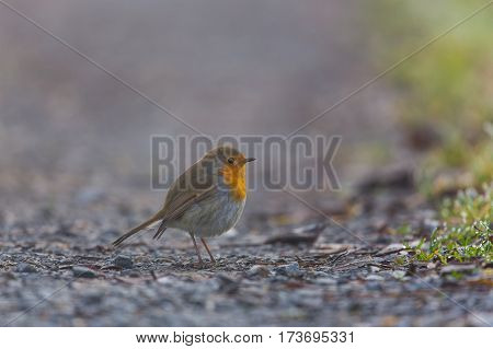 Portrait of european robin (Erithacus rubecula) standing on ground
