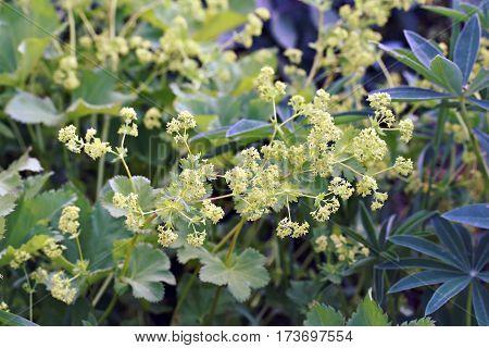 Alchemilla Mollis (lady's Mantle) Robusta