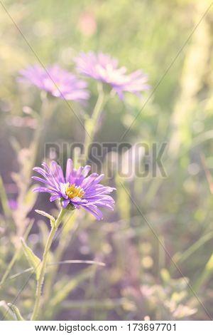 Aster Alpinus (alpine Aster)