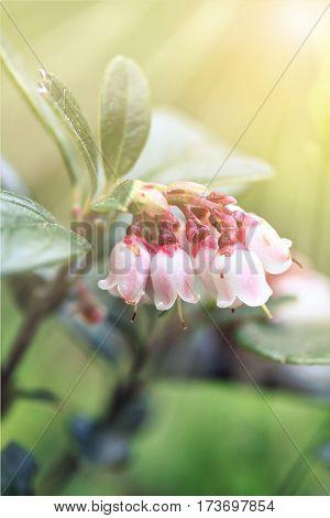 Vaccinium Vitis-idaea (lingonberry Or Cowberry)