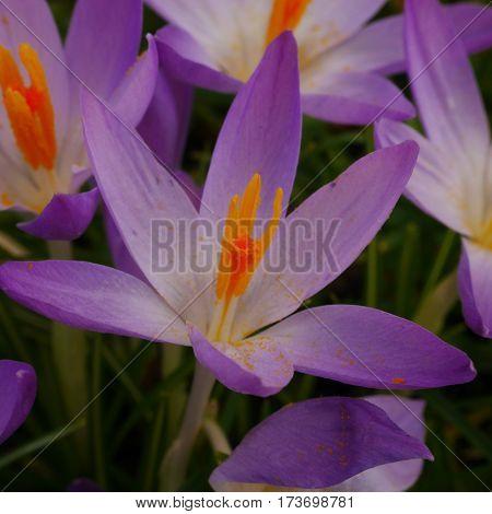 Close-up of purple crocus flower with orange stamens