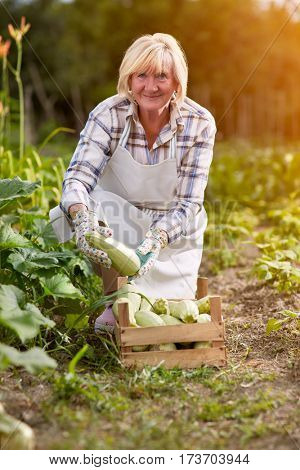 Older woman with organic produced zucchini in garden