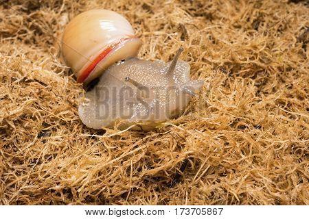 Beautiful snail on dried sphagnum moss. Macro shot.