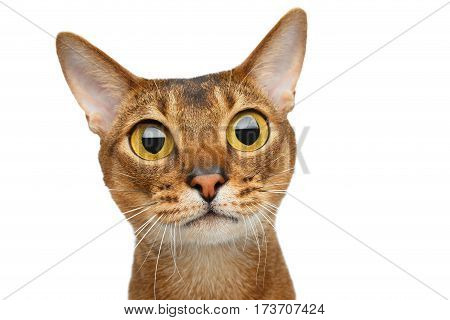Portrait of amazement Abyssinian cat with big eyes stare surprized isolated on white Background, front view
