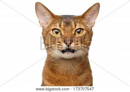 Portrait of Grumpy Abyssinian cat with opened mouth asking isolated on white Background, front view