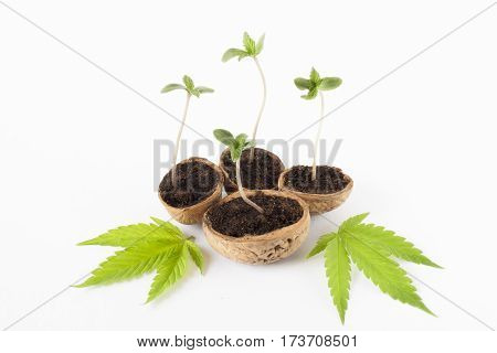 cannabis plant vegetative stage of marijuana growing green leaves
