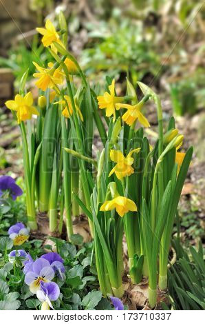 yellow daffodils and viola in a garden