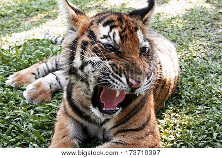bengal tiger open mouth teeth wildlife carnivore