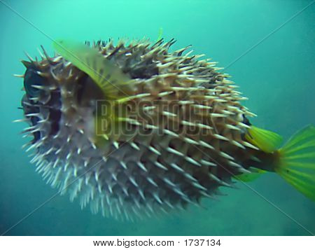alive porcupine fish in the blue. siam poster